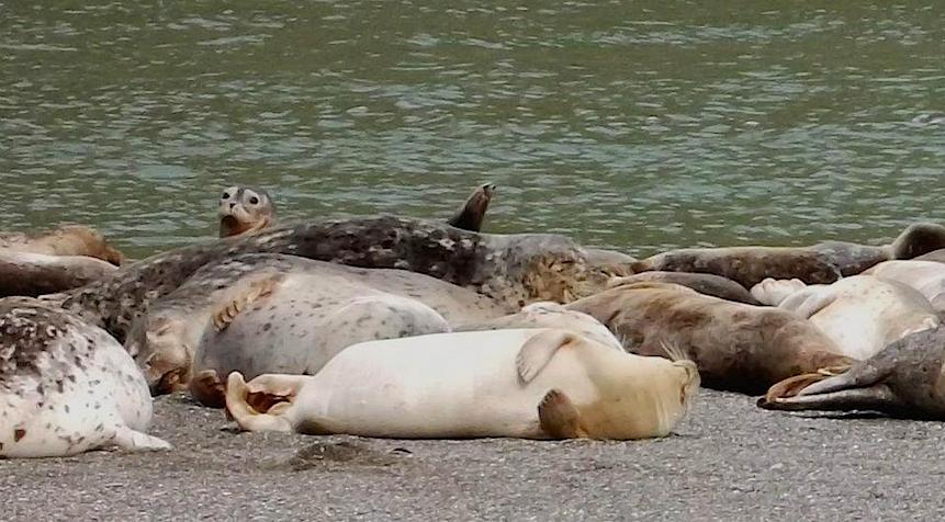 Bolinas Lagoon seals