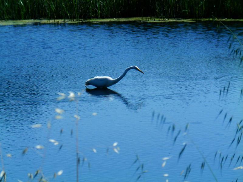 Vintage Egret in Bolinas Lagoon